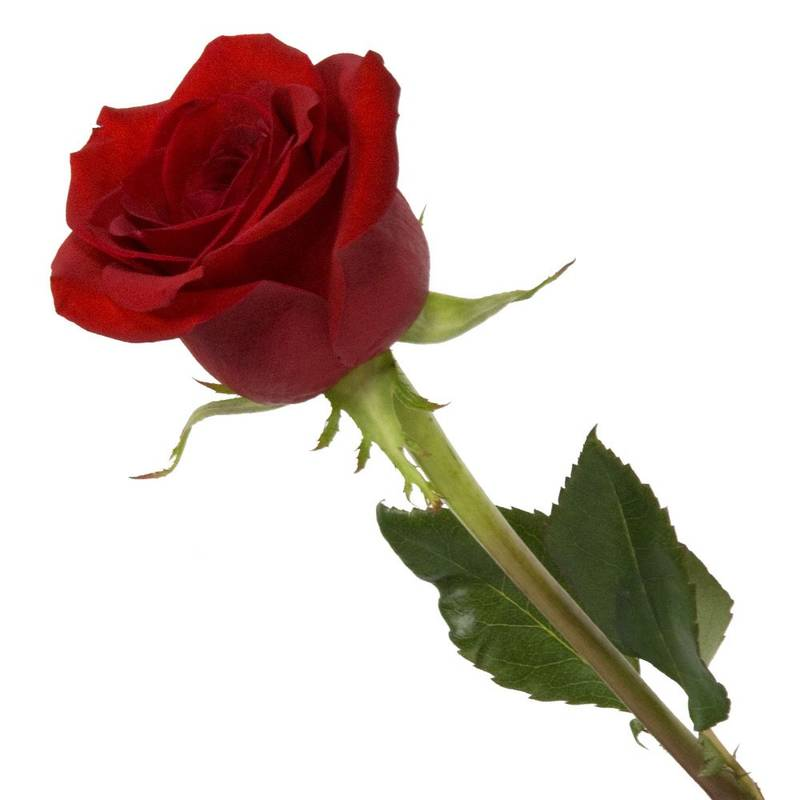 Buy adorable cute red rose flower love valentine gift online - Red rose flower hd images ...
