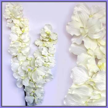 Venda Orchid (White)